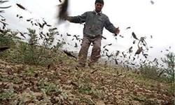 تبدیل تهدید به فرصت؛ ملخ صحرایی کود کشاورزی میشود