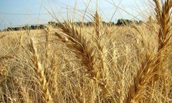 70 هزار هکتار از اراضی کشاورزی گلستان دچار خسارت شدند