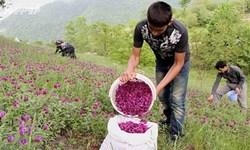 بیش از 230 هزار تن گیاه دارویی در کشور تولید شد