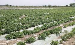 کاشت و برداشت دستی حبوبات باعث افزایش علف های هرز در مزرعه می گردد