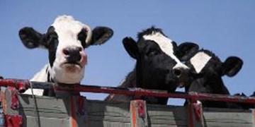 صدور مجوز صادرات زنده دام های سنگین صحت ندارد