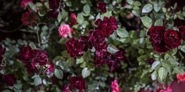 نمایشگاه گل و گیاه در كرمانشاه برگزار میشود