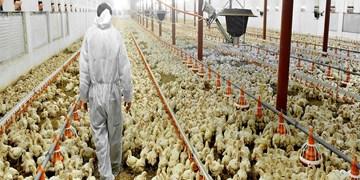 انحصار در واردات نهاده، مرغداران را به خاک سیاه نشاند/ دولت با انحصارگران مقابله نمیکند