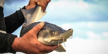پرورش ماهی، تجارت سودآور/ «همدان» مستعد سرمايهگذاری در ماهی خاویار