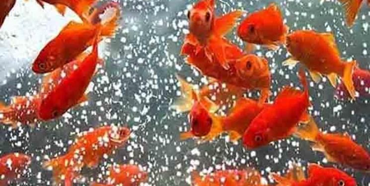 تکذیب وجود بیماری در ماهیهای قرمز گیلان