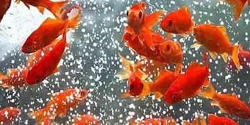تولید سالانه ۴۰ میلیون قطعه ماهی زینتی در کاشان