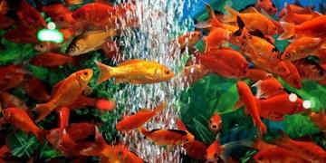 عدم انتقال کرونا از ماهی قرمز/ نگهداری  لاکپشتهای گوش قرمز و حلزونهای سیبی ممنوع است