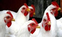 بازار مرغ لاین ایران در دستان بیگانگان  مجتمع مرغ «آرین»؛ گنج رهاشده+ تصاویر