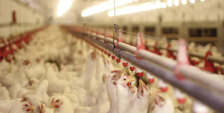 برخورد با مرغداران گران فروش/ هر کیلو گرم مرغ زنده باید 10500 تومان باشد