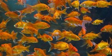ماهی قرمز  عید نوروز ناقل کرونا نیست