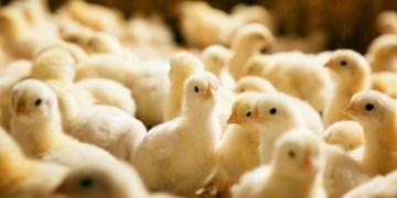 صادرات «پولت مرغ تخمگذار» بلامانع اعلام شد
