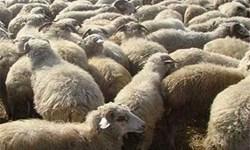 کشف 392 راس گوسفند قاچاق در سراب