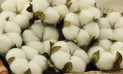 افزایش 140 درصدی تولید پنبه در گلستان