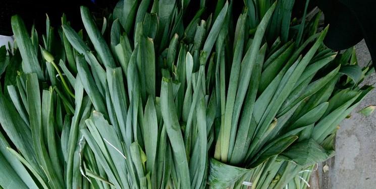 بازار پر رونق گیاهان کوهی و دارویی در یاسوج+عکس