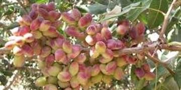 مهاجرت کشت پسته در کشور/ تولید 42 کیلو گوجه فرنگی با یک مترمکعب آب در جلفا