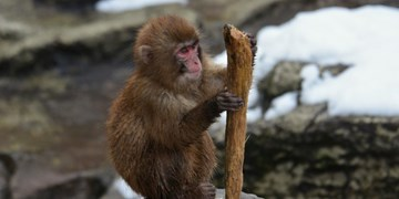 کشف فسیل یک میمون 4 میلیون ساله