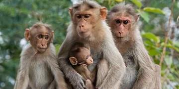 تغییر ذهن میمونها؛ روش جدید برای درمان آلزایمر