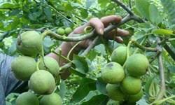 کردستان رتبه دوم تولید گندم و ششم گردو را کسب کرد