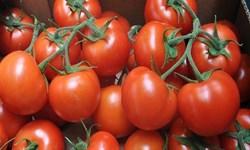پیش بینی برداشت 150 هزار تن گوجه فرنگی در پارس آباد