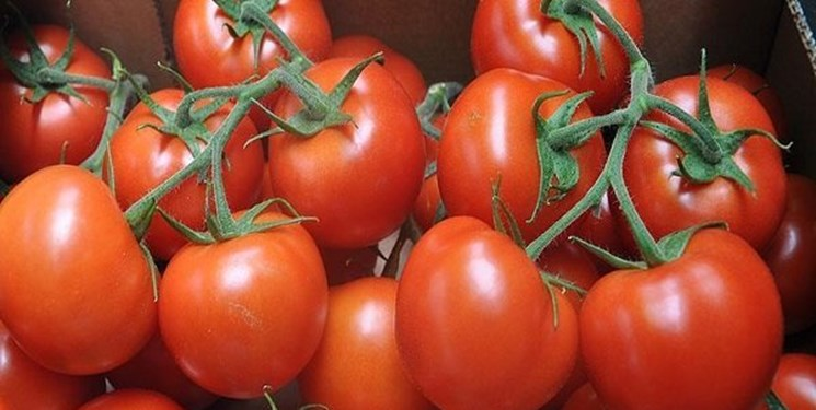 آغاز توزیع گوجه فرنگی جنوب در میادین کیلویی ۱۱ هزار تومان