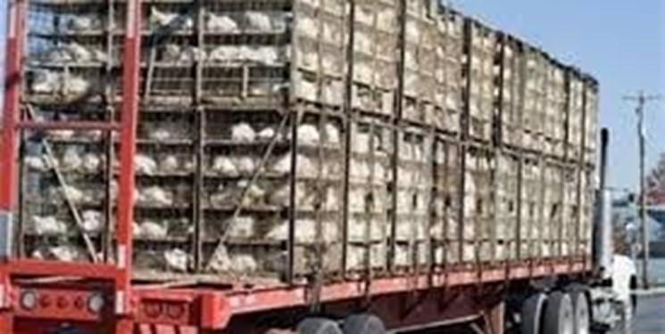 8 تن مرغ زنده قاچاق در دهلران کشف شد