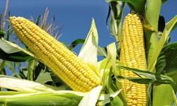 استان اردبیل رکورددار تولید بذر ذرت کشور