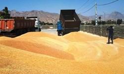 خرید تضمینی ۱۵۲ هزار تن گندم از کشاورزان استان قزوین
