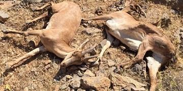 کشف لاشه ۲۴ رأس حیات وحش در منطقه شکار ممنوع دماوند/ محیط زیست: اوضاع تحت کنترل است