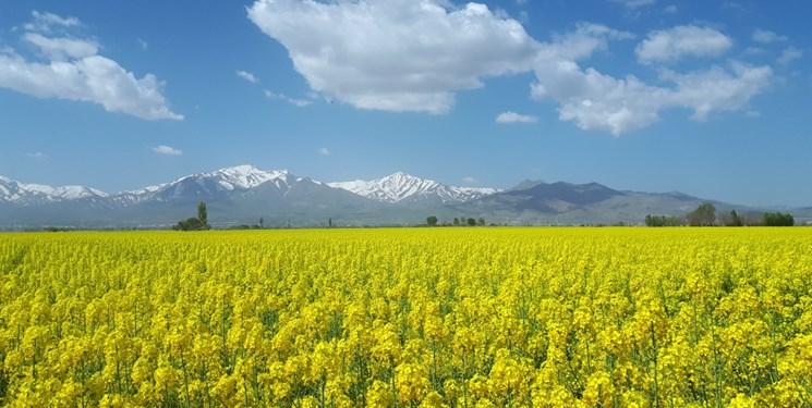 قابلیت برداشت 14 هزار هکتار کلزا در اراضی کشاورزی گنبدکاووس