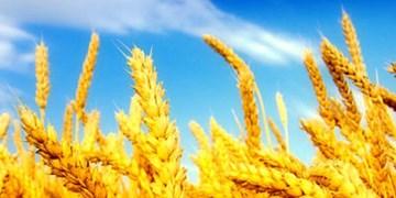 کشت 19 هزار و 200 هکتار محصولات پاییزه در گالیکش