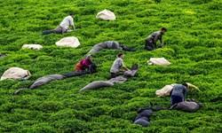 ۴۰۰ ناظر چای منتظر تحقق وعدهها