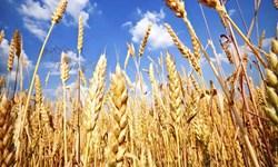 دولت خرید تضمینی گندم از کشاورزان را مشروط کرد