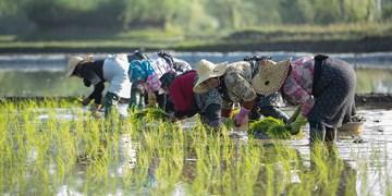 نوید روزهای خوب کشاورزی در مازندران با بارشهای تابستانه