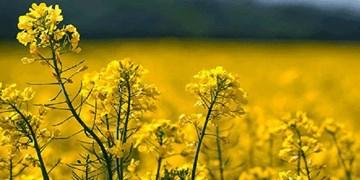 نبرد کلزاکاران کرمانشاهی با آفت «سنک»/ کشاورزان گوش به زنگ باشند