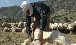 از خام فروشی 120 تن پشم در شهرستان بدره جلوگیری میشود