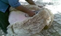 سالانه ۱۶۰۰ تن پشم در ایلام تولید میشود