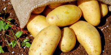 صادرات ۱۰ درصد از سیبزمینی گلستان به آسیایمیانه