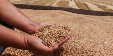 49 هزار تن گندم از کشاورزان استان قزوین خریداری شد