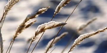 خسارت ۲۶ میلیاردی سرما به باغداران جاجرمی