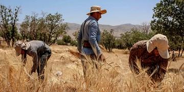گندمی که برای کشاورز نان نمیشود/ پدیده تار عنکبوتی و زیان کشاورزان