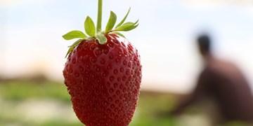 «توت فرنگی» میوه چهارفصل