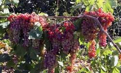 آغاز برداشت انگور از باغات استان فارس
