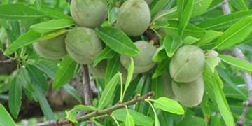 «بادام» محصولی مقاوم در برابر کمآبی/ درآمدزایی ۲۳۸ میلیاردی بادام در خراسانجنوبی