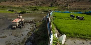 نشای ۹۸ درصدی شالیزارهای گیلان/ شالیکاران رودباری مراحل نشای برنج خود را سرعت بخشند