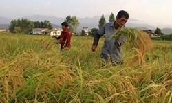 آغاز برداشت برنج از مردادماه در استان گیلان