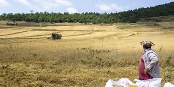 آغاز برداشت جو در ۳۵ هزار هکتار مزارع قزوین/ پیشبینی برداشت ۱۲۰ هزار تن جو