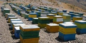مزارع آفتابگردان، بهشت زنبور عسل/ تولید سالانه 12 هزار تن عسل از زنبورستانهای خوی
