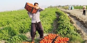 پیشبینی برداشت 70 هزار تن گوجهفرنگی از مزارع شهرستان قزوین