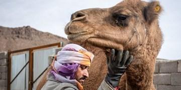 بنیاد مستضعفان به کمک زنجیره پرورش شتر در خراسانجنوبی میآید