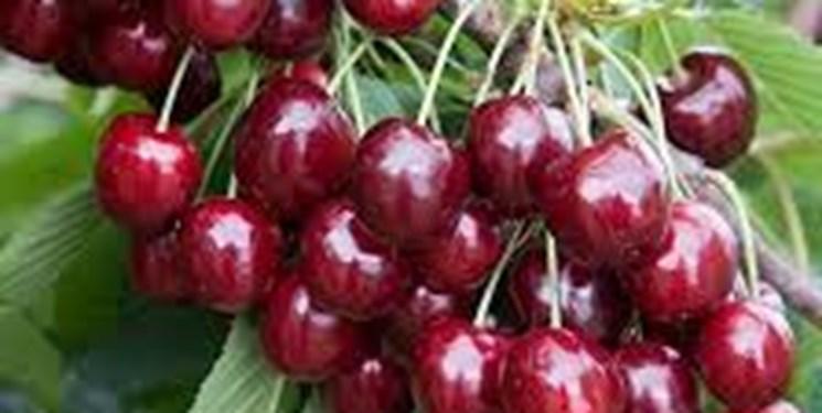 صادرات گیلاس از آمل به کشورهای حاشیه دریای خزر و خلیج فارس/ ارزش 400 میلیاردی تولید گیلاس
